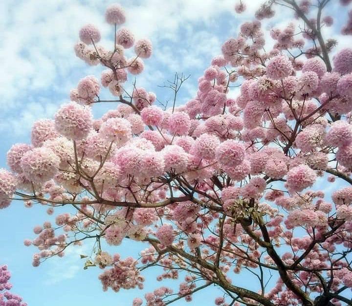 20190214171325 44 - 洋紅風鈴木盛開爆發中 花團錦簇宛如粉紅棉花球 竹山紫南宮